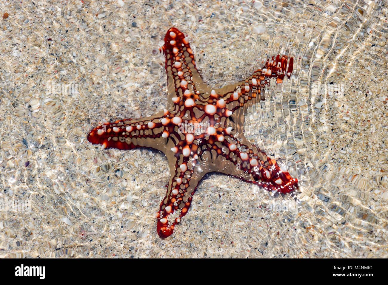 Red Knob Sea Star Stock Photos Amp Red Knob Sea Star Stock