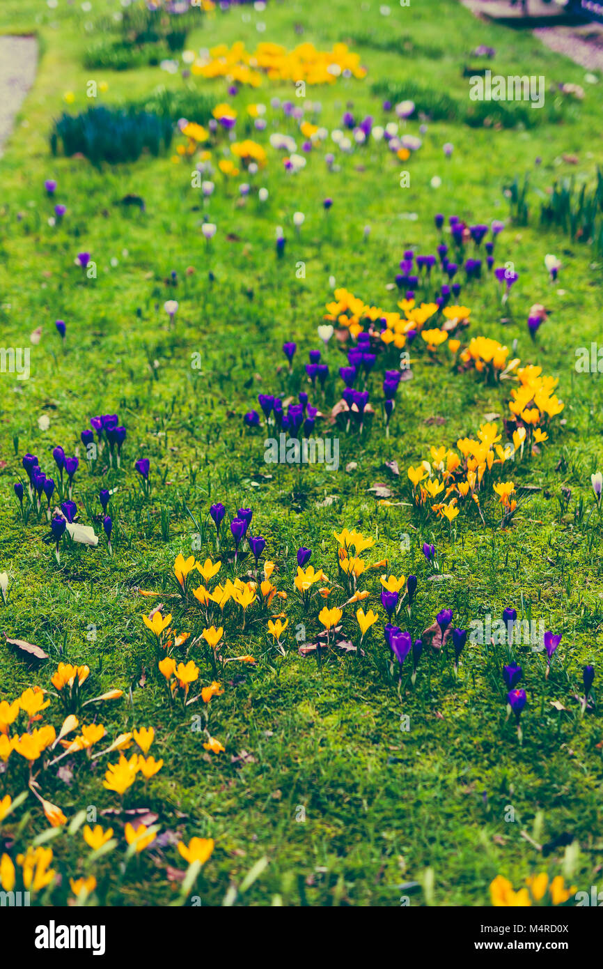 mixed color crocus flowers bloomin in on a green meadow - Stock Image
