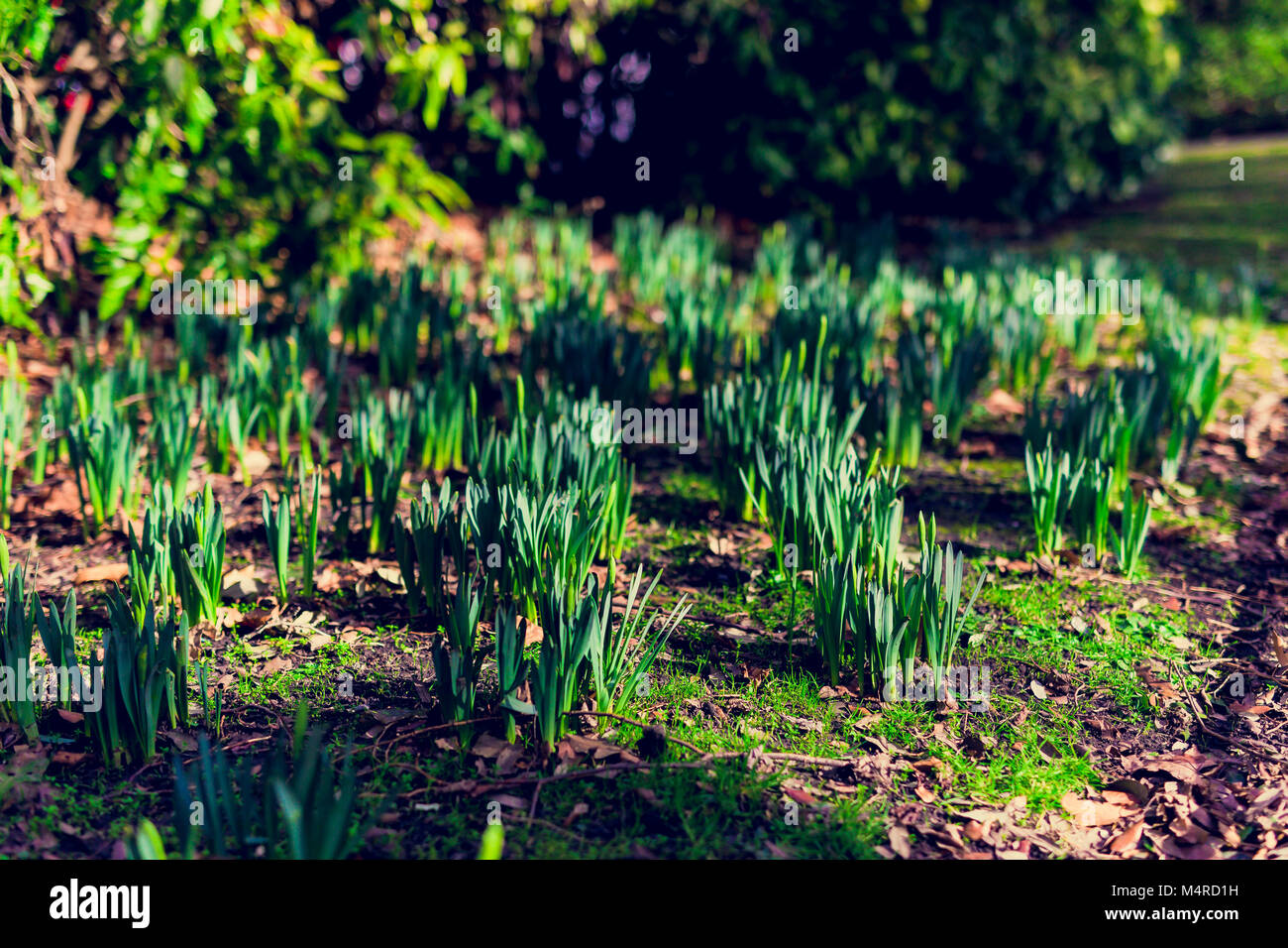 daffodils plants about to bloom in a meadow with sunlight on them - Stock Image