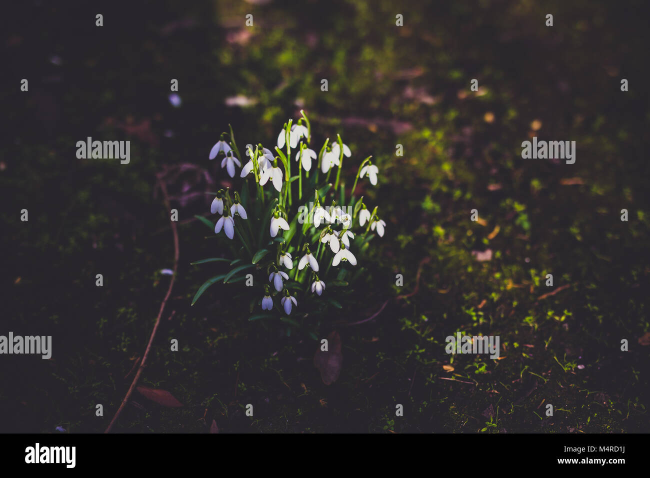 snowdrop flowers in a meadow with rays of sunshine on them surrounded by shadow - Stock Image