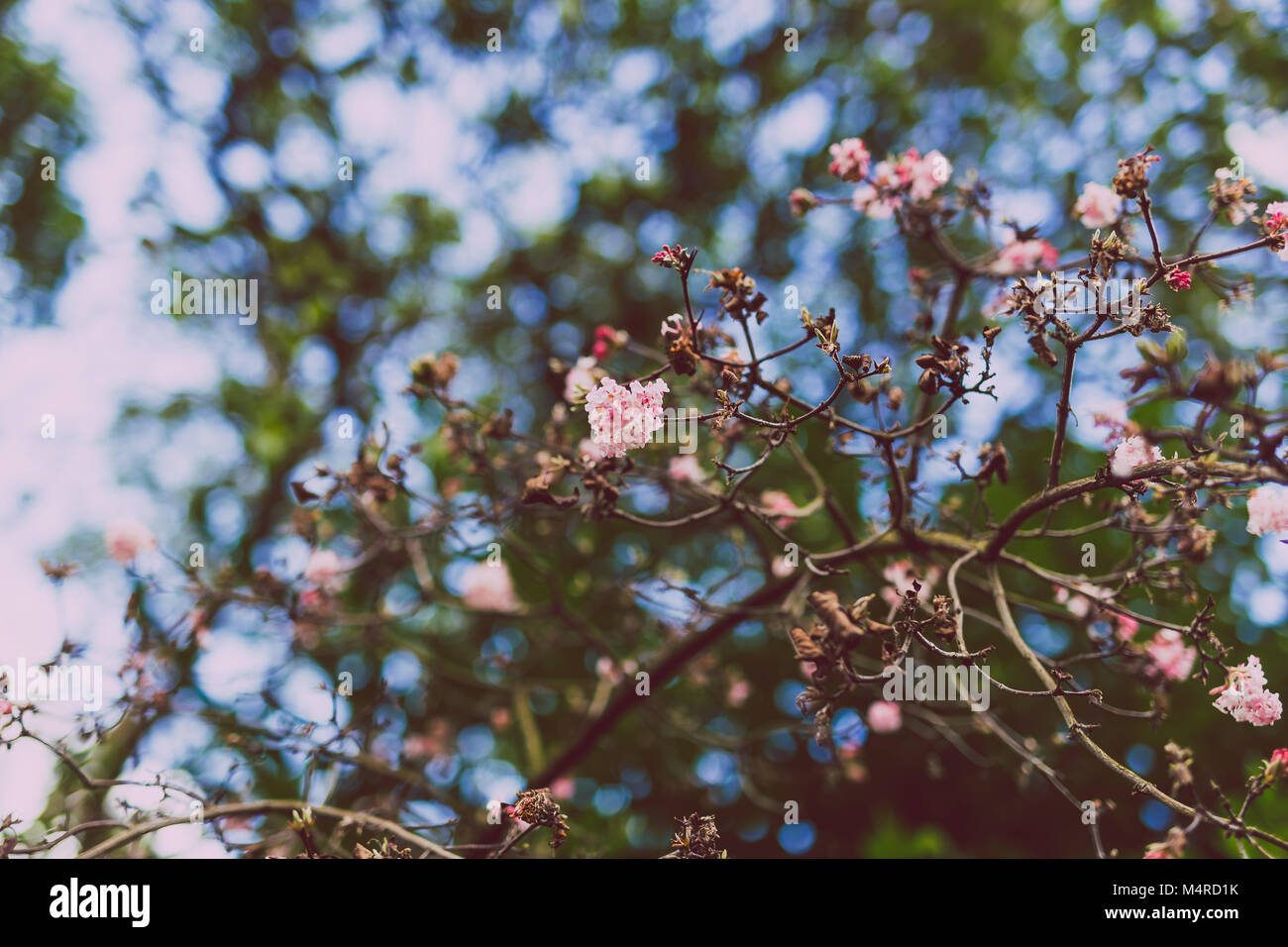 pink blossoms on a tree shot at extremely shallow depth of field in a very cold spring morning in Ireland - Stock Image