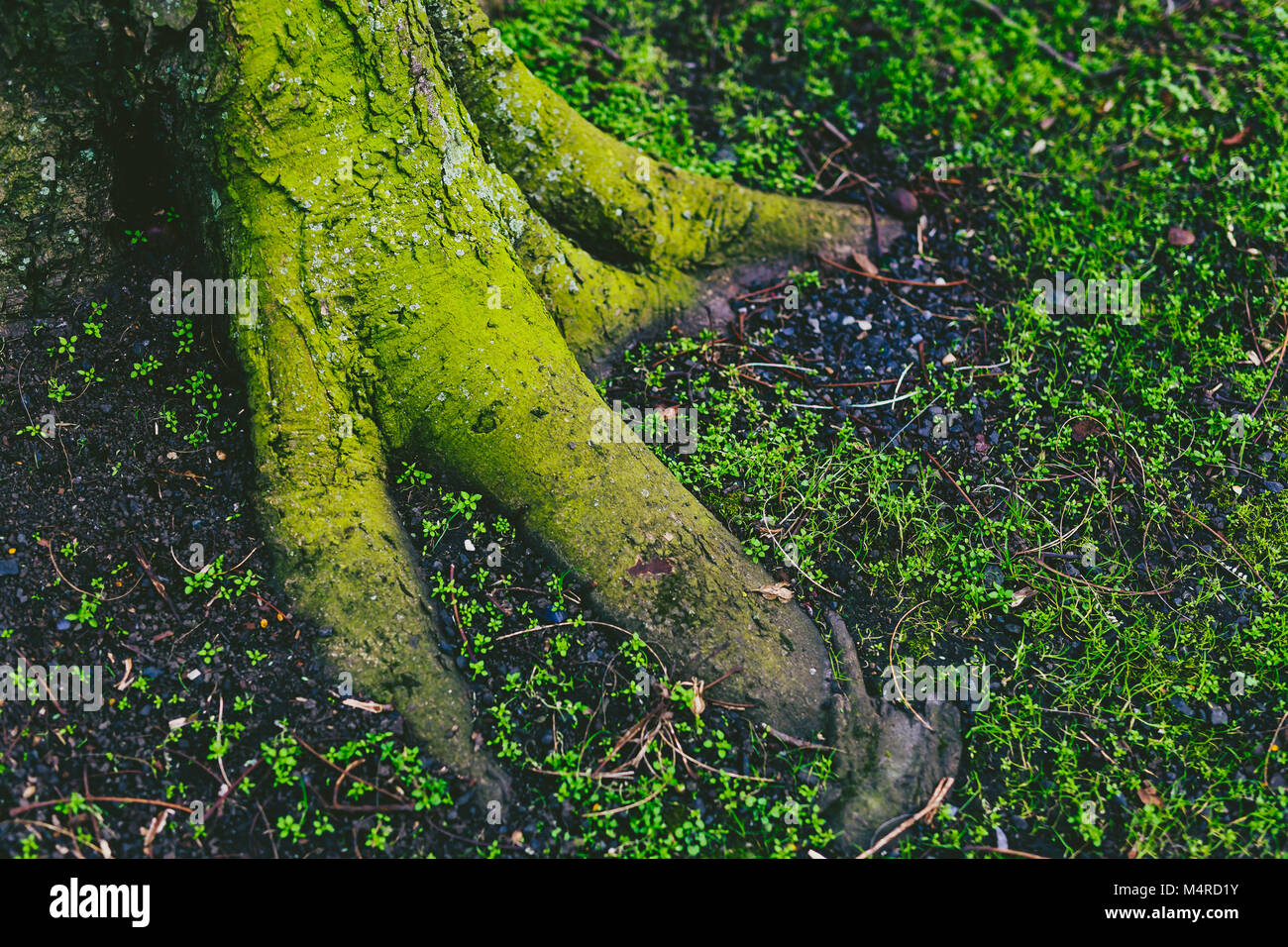tree trunk and roots covered in intensively green moss shot in Dublin, Ireland - Stock Image