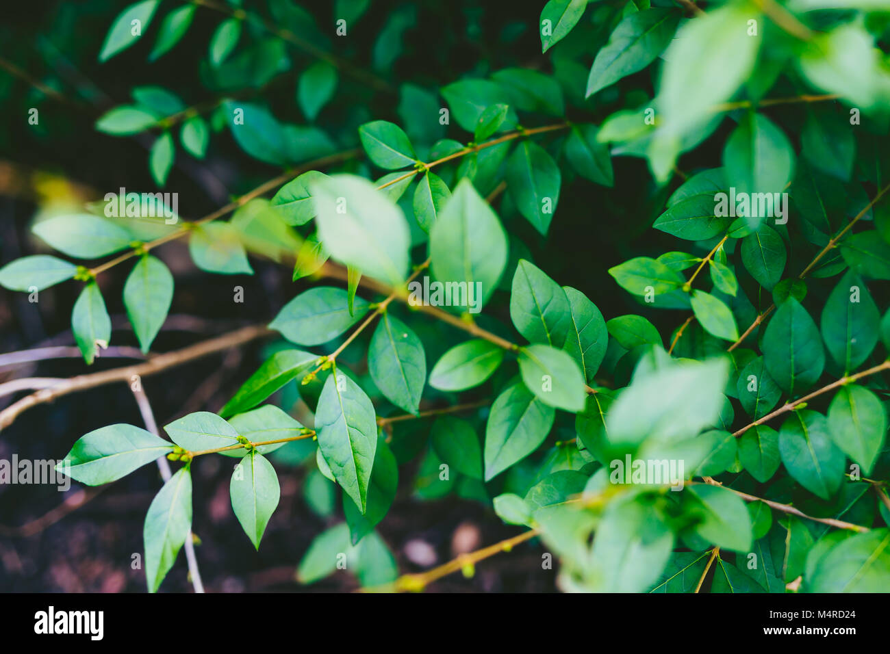 green branches shot at shallow depth of field in a city park in Dublin, Ireland - Stock Image