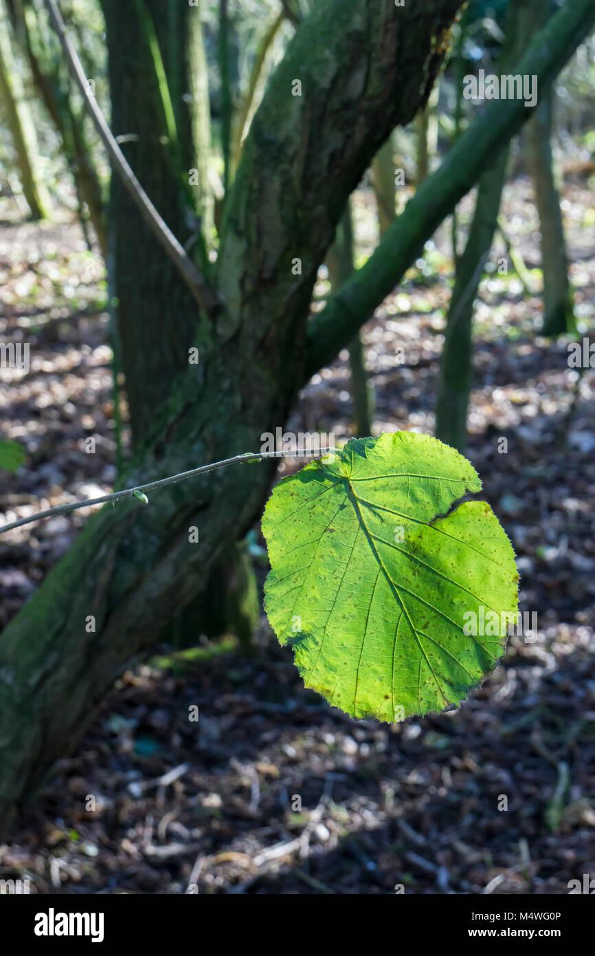 back-lit-plane-tree-leaf-M4WG0P.jpg