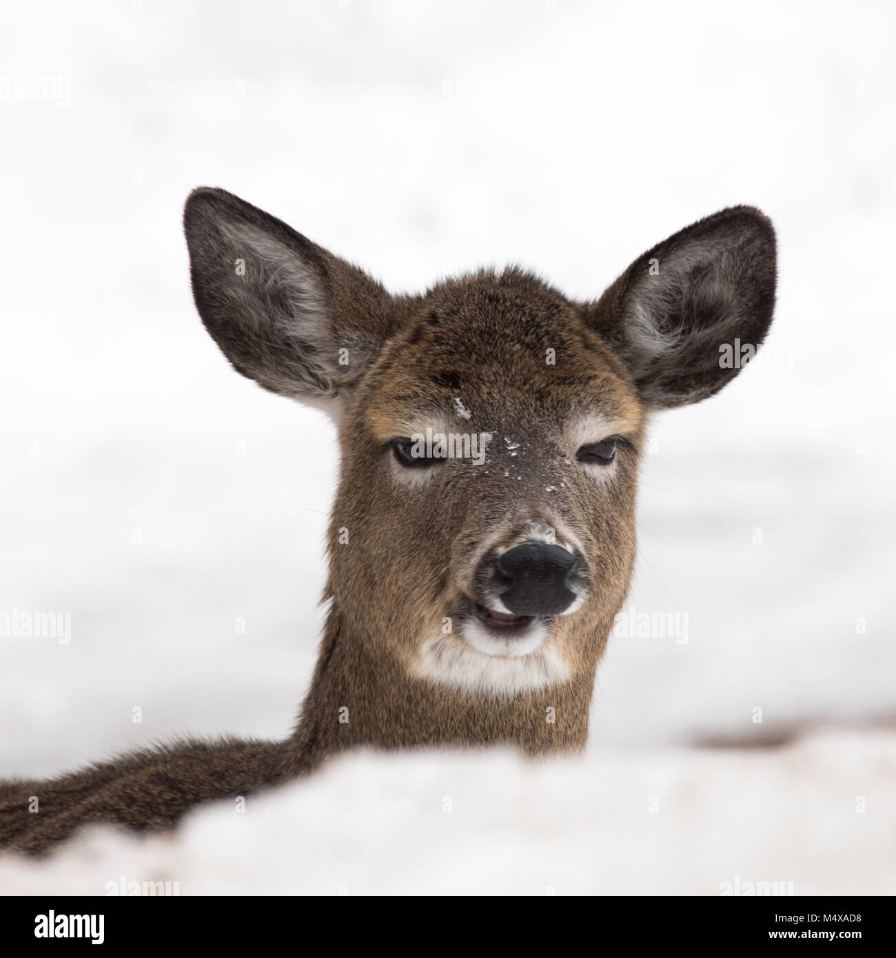 a-whitetail-deer-in-the-adirondack-mount