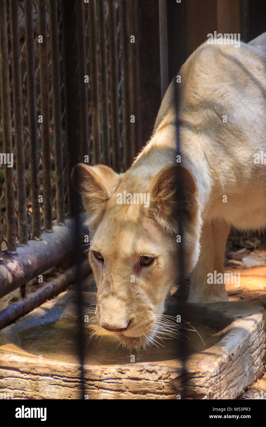 Feel pity of young white lion in the steel cage. - Stock Image