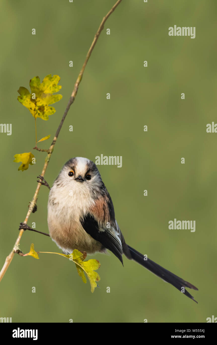adult-long-tailed-tit-aegithalos-caudatus-in-a-tree-in-autumn-in-the-M555XJ.jpg