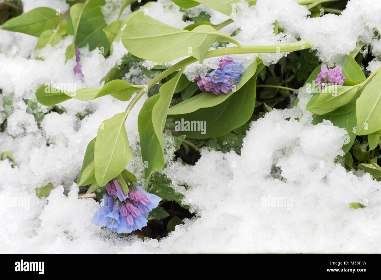 Virginia Bluebells weighed down by a spring snow at Shenks Ferry Wildflower Preserve, Lancaster Co., Pennsylvania. - Stock Image