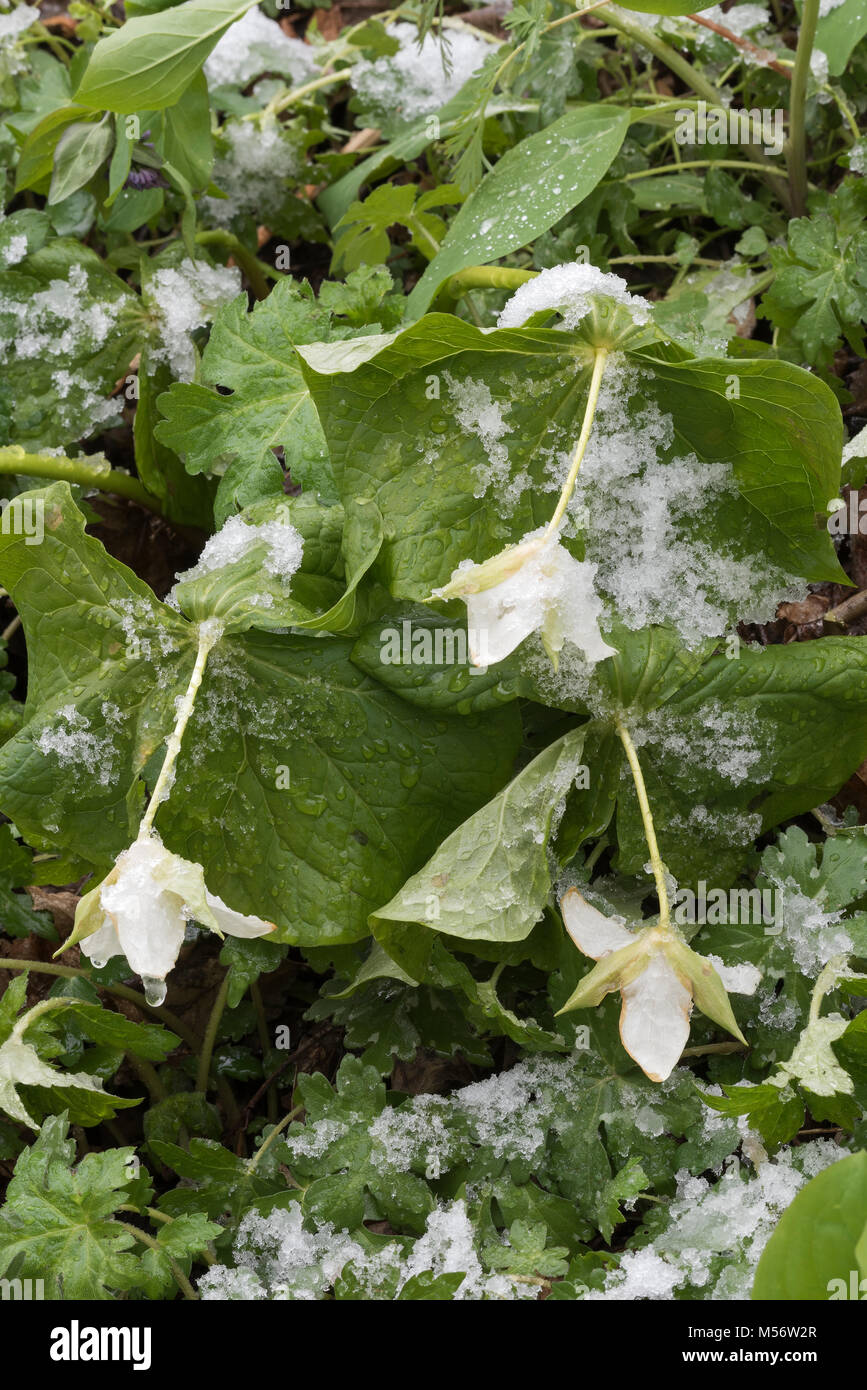 White Trillium (Trillium erectum) weighed down by a spring snow at Shenks Ferry Wildflower Preserve, Lancaster Co., - Stock Image