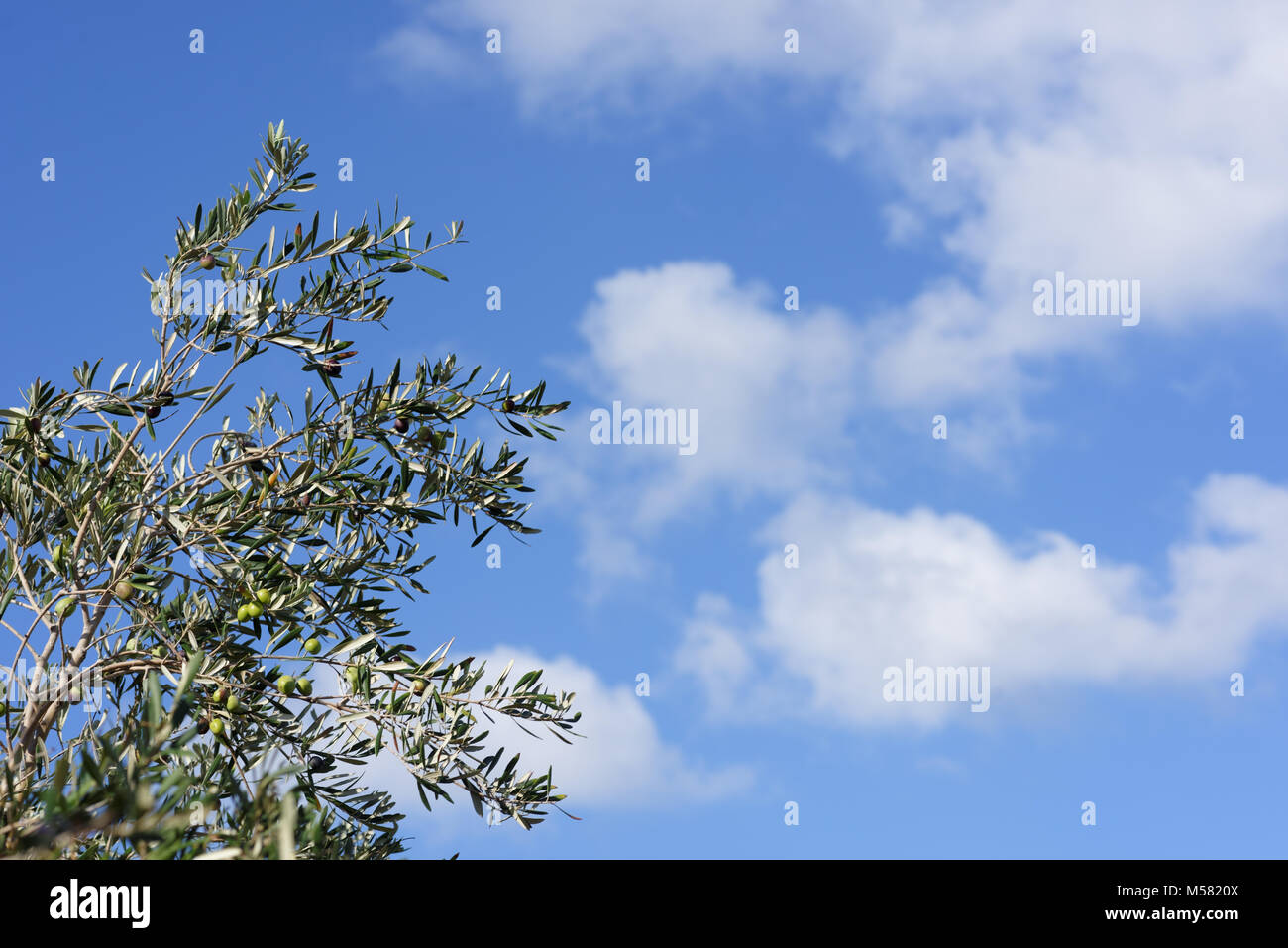 Green olives on a branches against blue sky - Stock Image