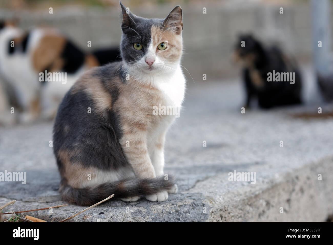 Portrait of cute tricolor cat - Stock Image