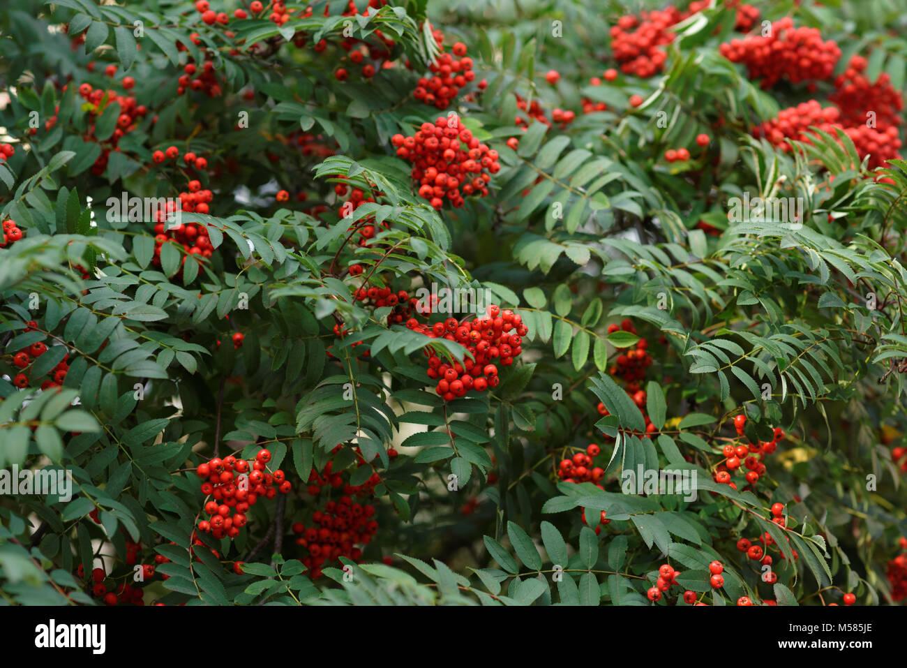 Mountain-ash fruits in lush foliage - Stock Image