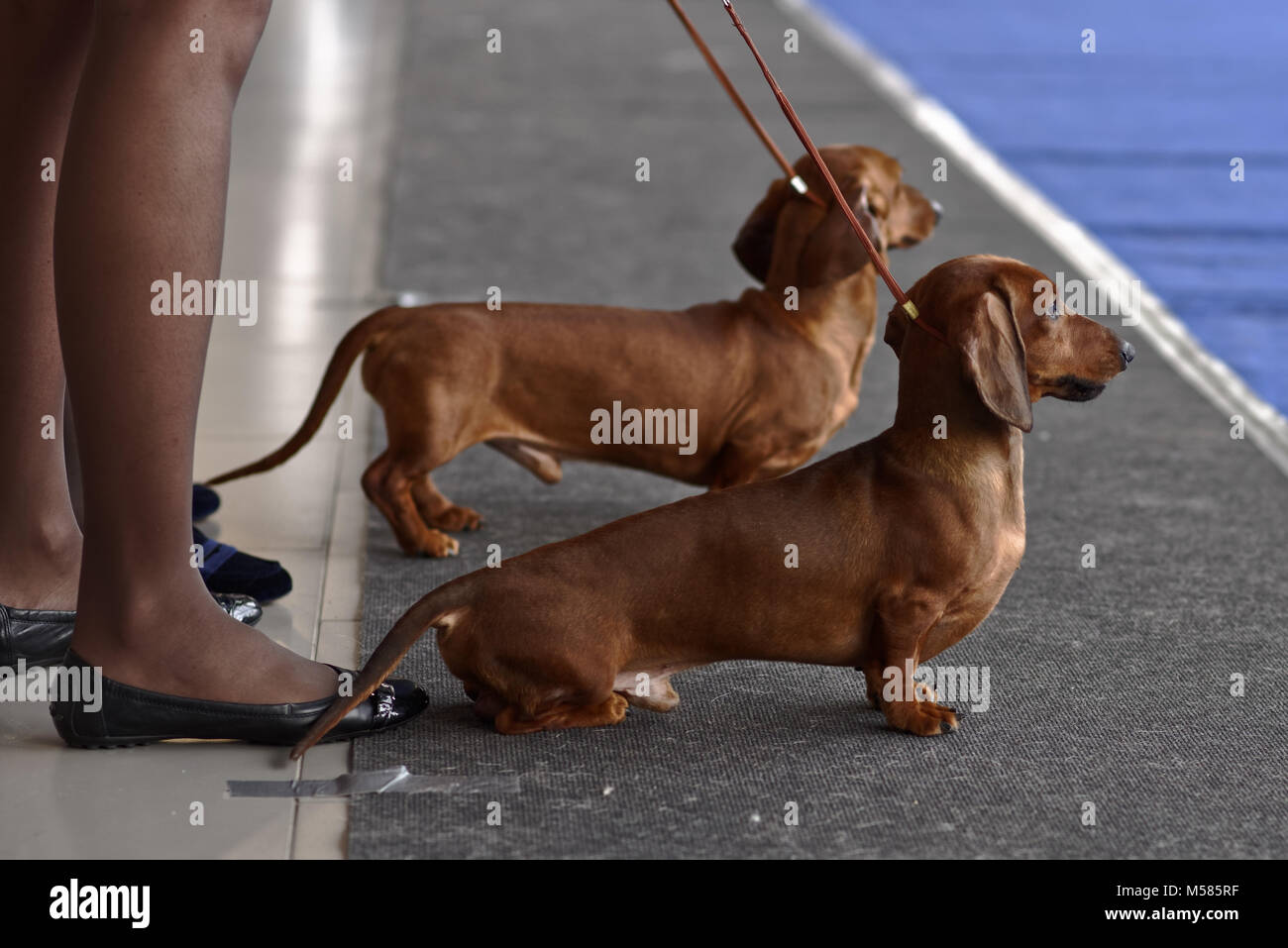 Owners with their dachshunds on the dog show - Stock Image