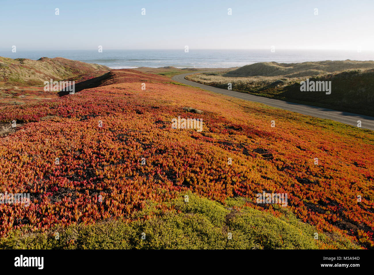 Landscape covered with ice plant. - Stock Image