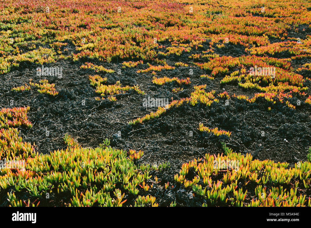 High angle view of landscape covered with ice plant. - Stock Image