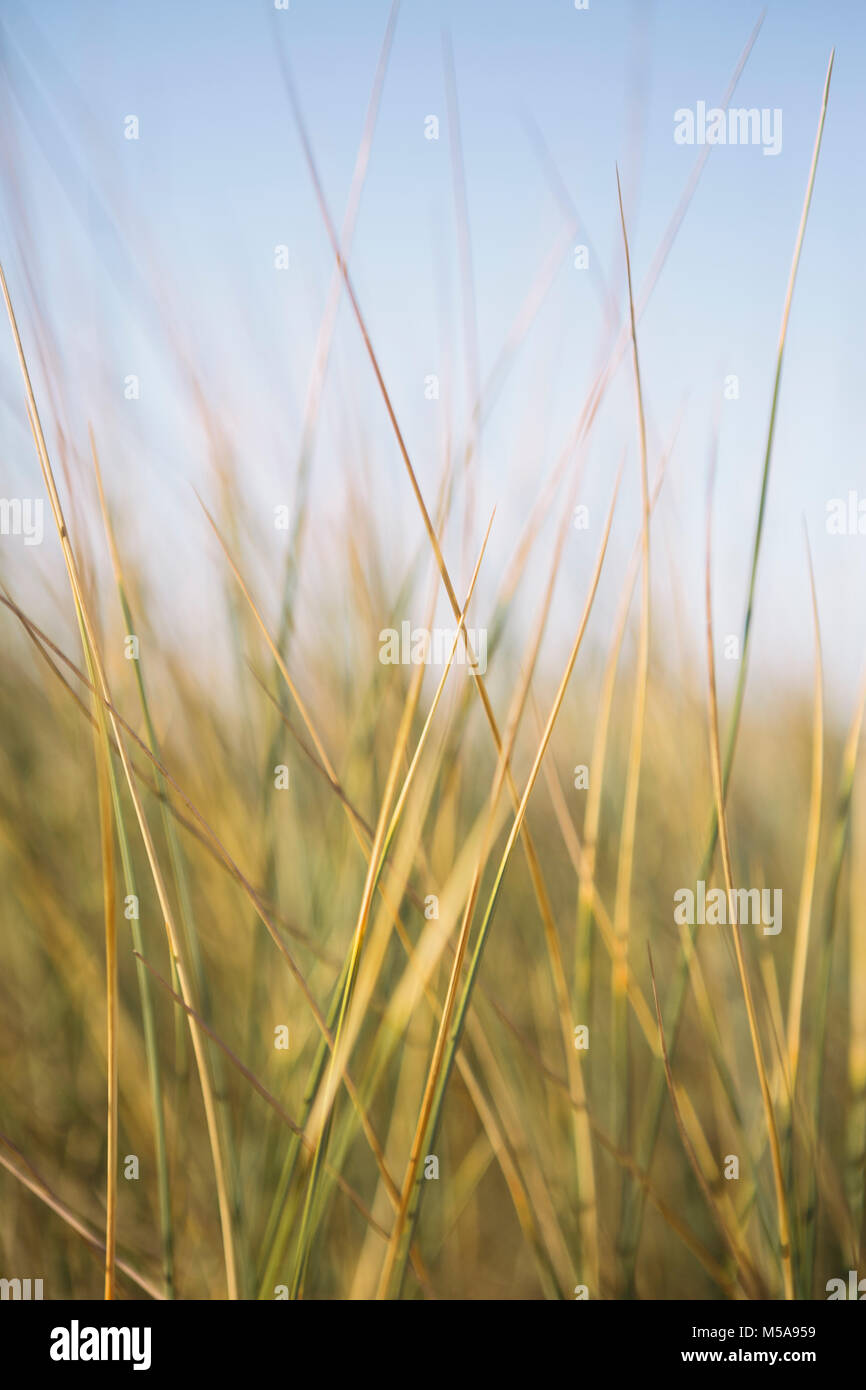 Close up of windswept sea grasses. - Stock Image