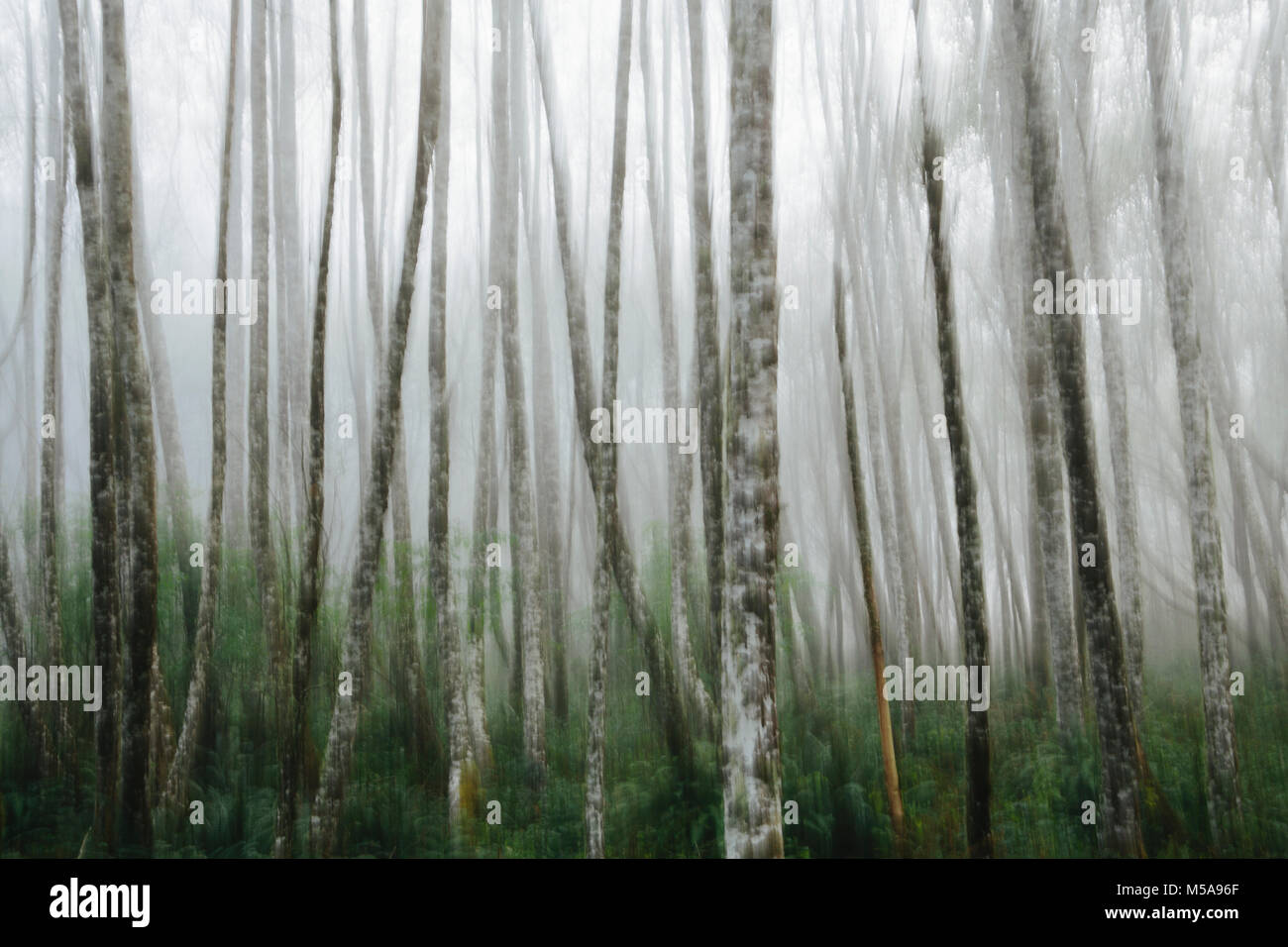 Dense woodland, alder trees with slim straight tree trunks in the mist. - Stock Image