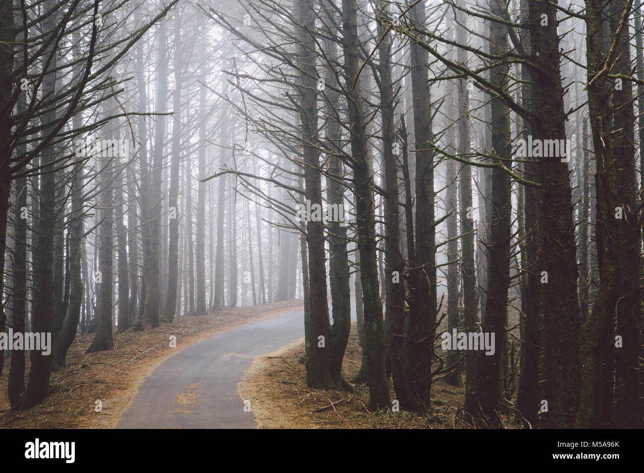 A road winding through trees in the forest, mist hanging in the air. - Stock Image