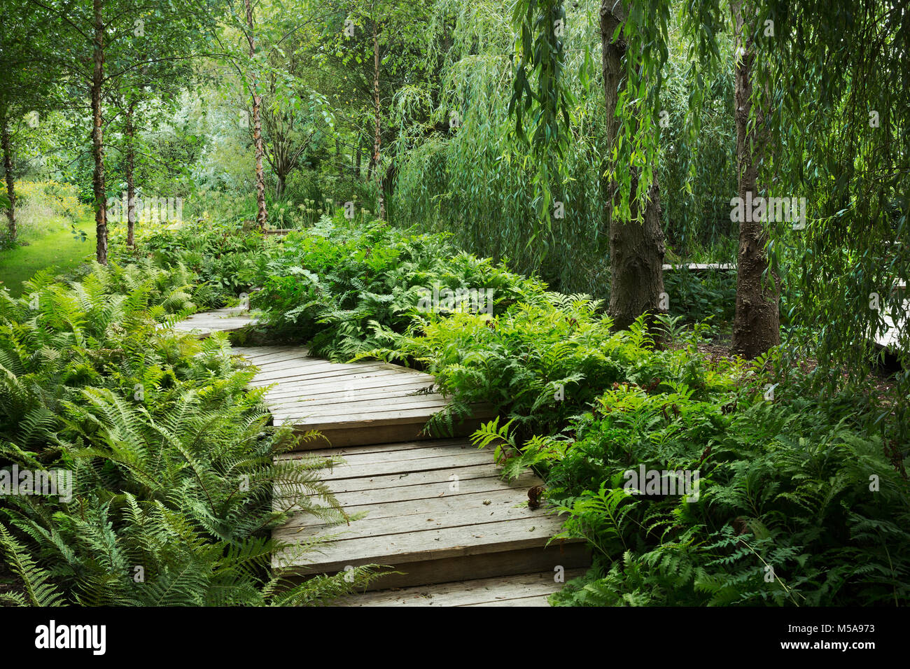 Willow trees and fern growing around curved wooden boardwalk in a garden. - Stock Image