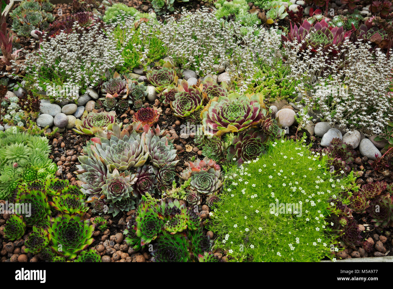 High angle view of flower bed with selection of succulent plants in a garden. - Stock Image
