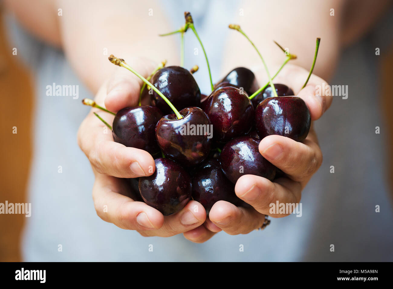A woman's hands holding a bunch of dark red cherries. - Stock Image