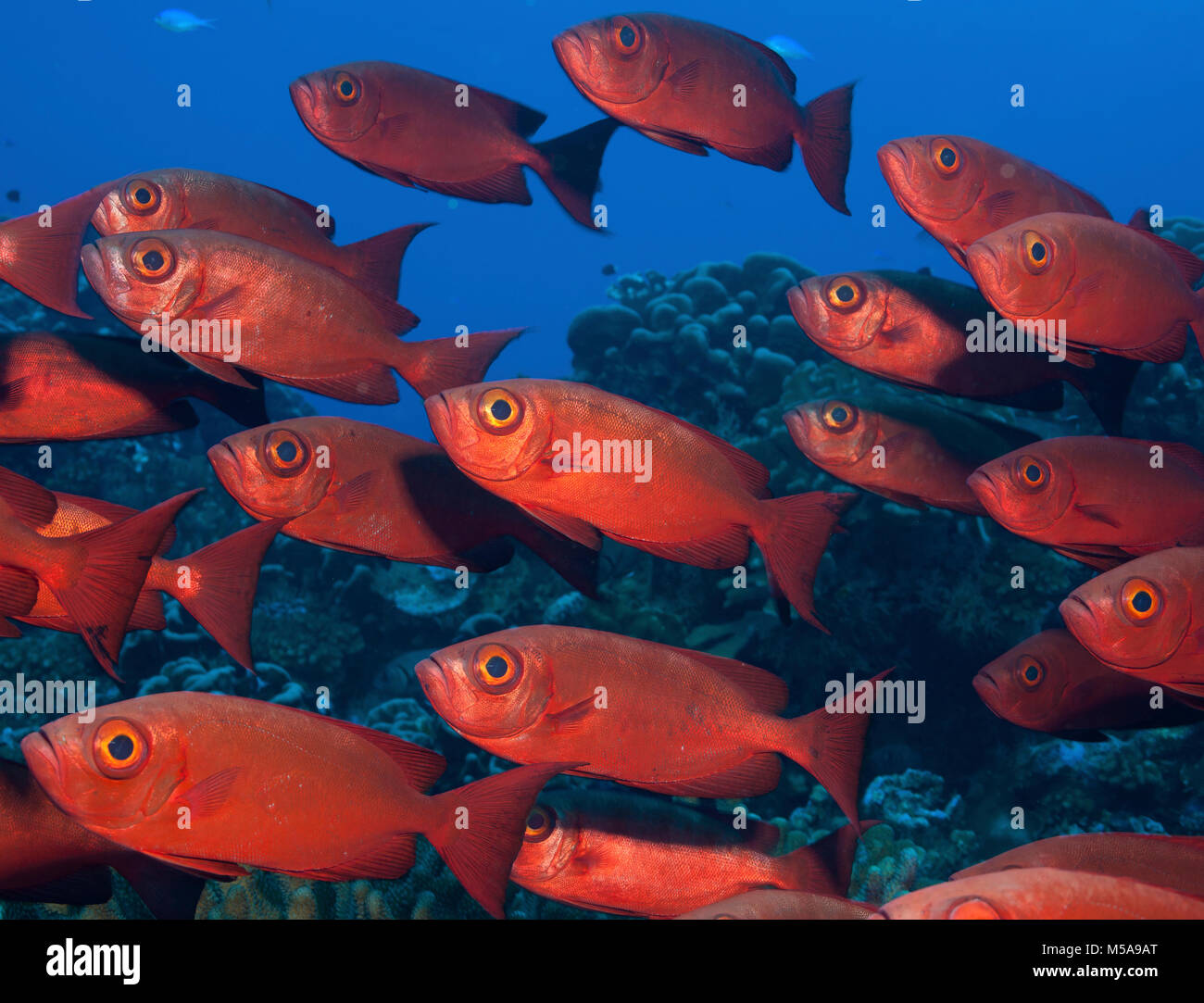 Large school of Crescent tail bigeye with vivid red coloured skin. - Stock Image