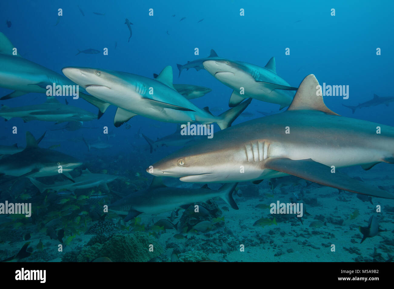 Grey reef sharks in the islands of the South Pacific. - Stock Image