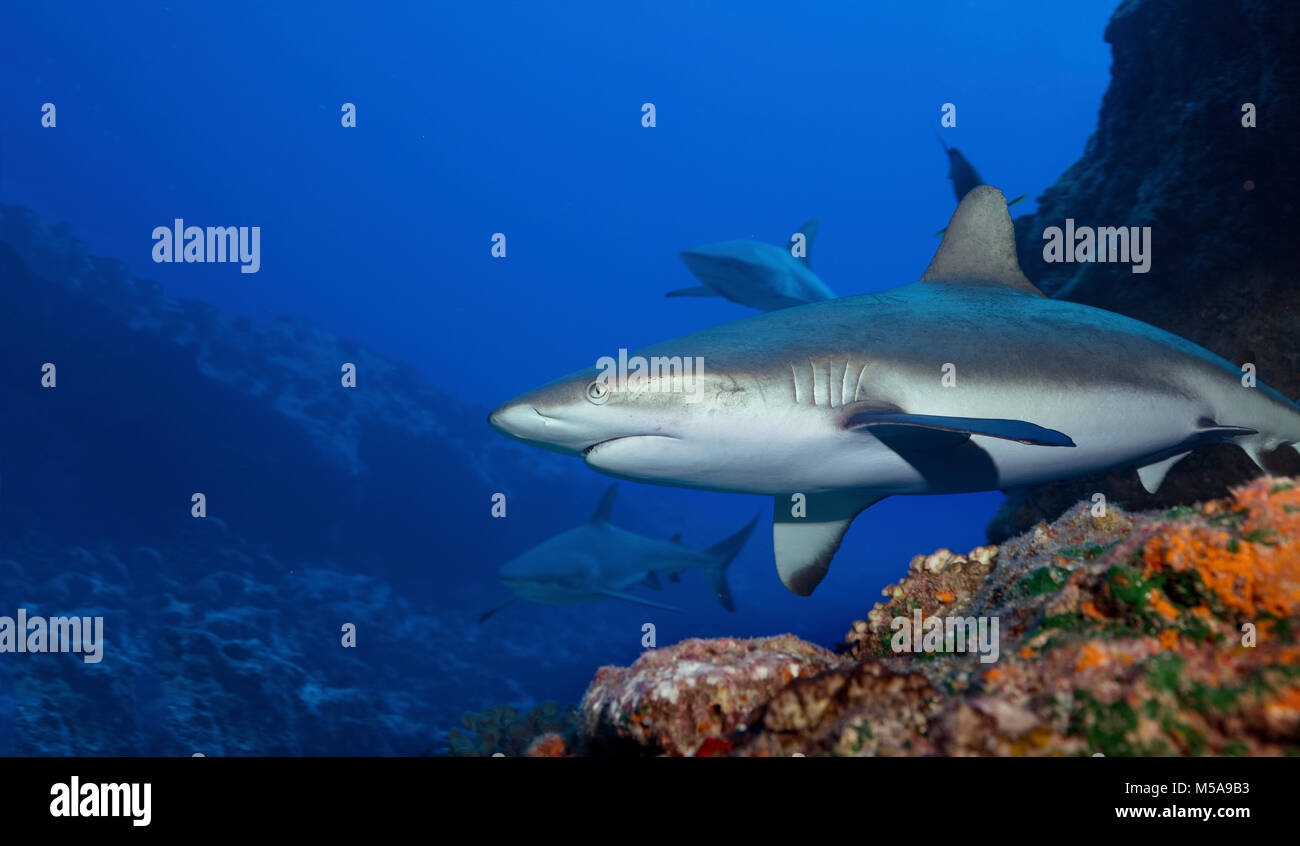 Gray reef sharks in the warm waters above a coral reef. - Stock Image