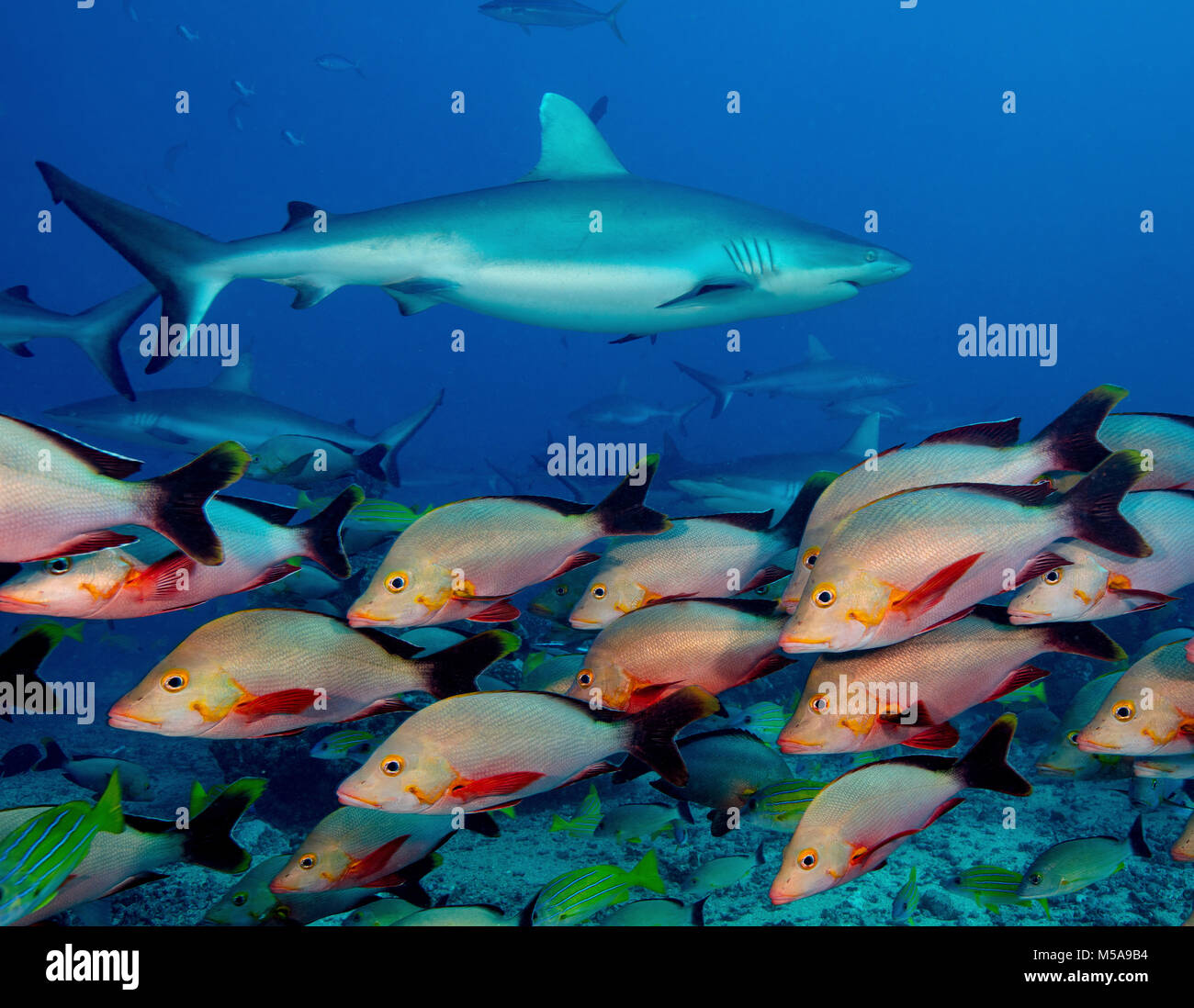 Marine life, fish in the waters of the South Pacific. A grey reef shark among a humpback red snapper shoal. - Stock Image
