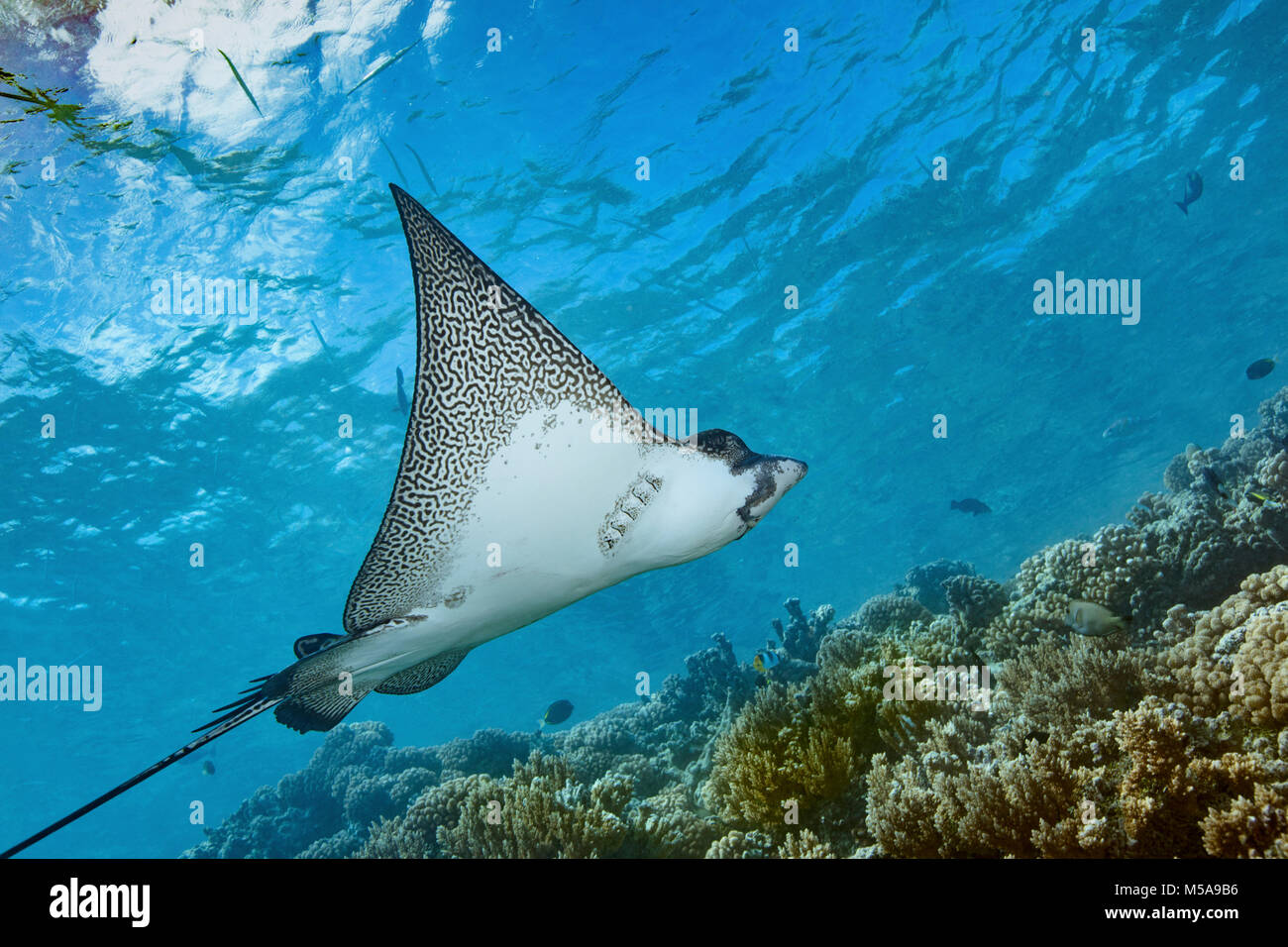 Graceful spotted eagle ray swimming across a coral reef in Fakarava. - Stock Image