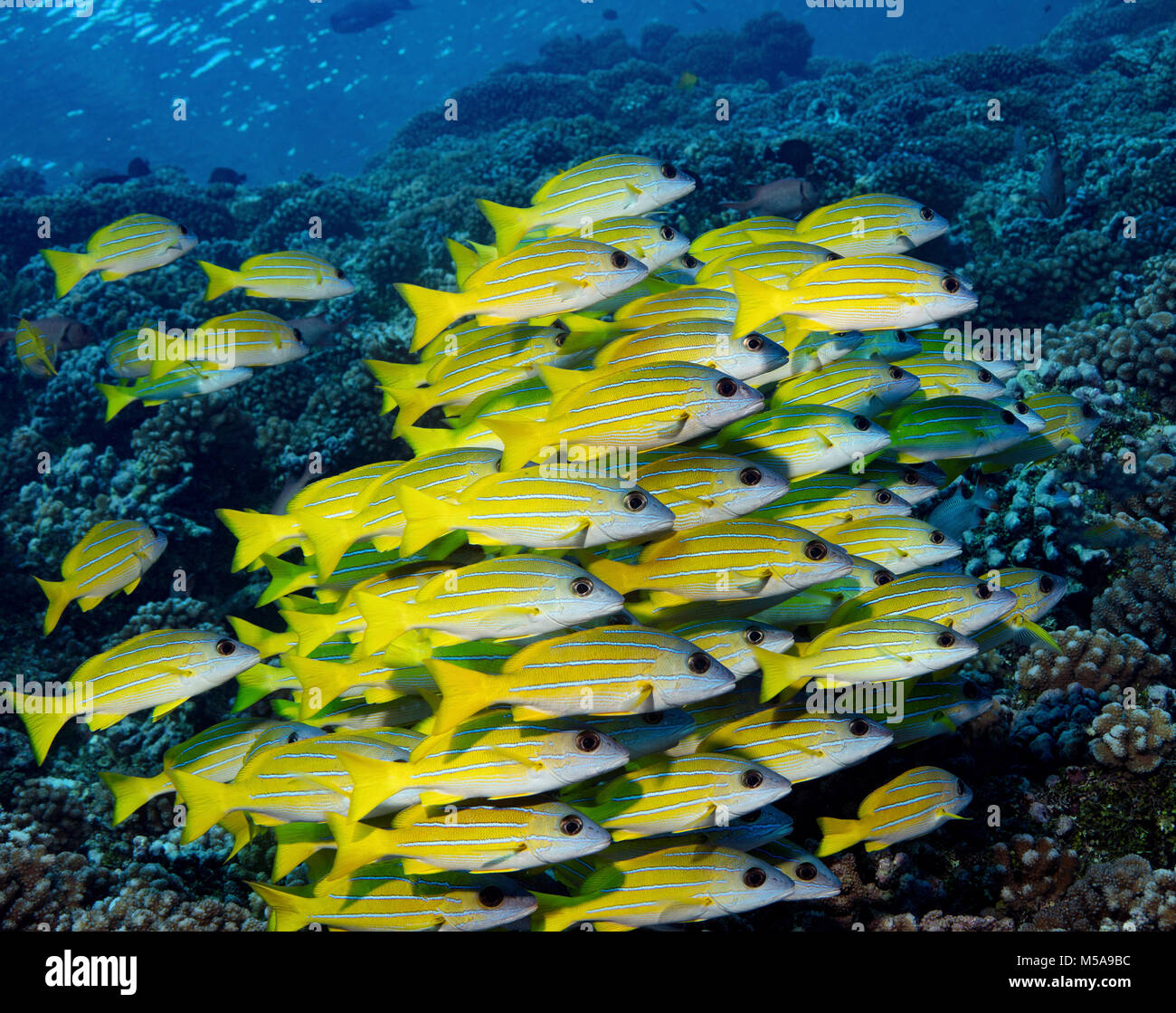 Large school of Blue-line snapper on a coral reef in French Polynesia - Stock Image