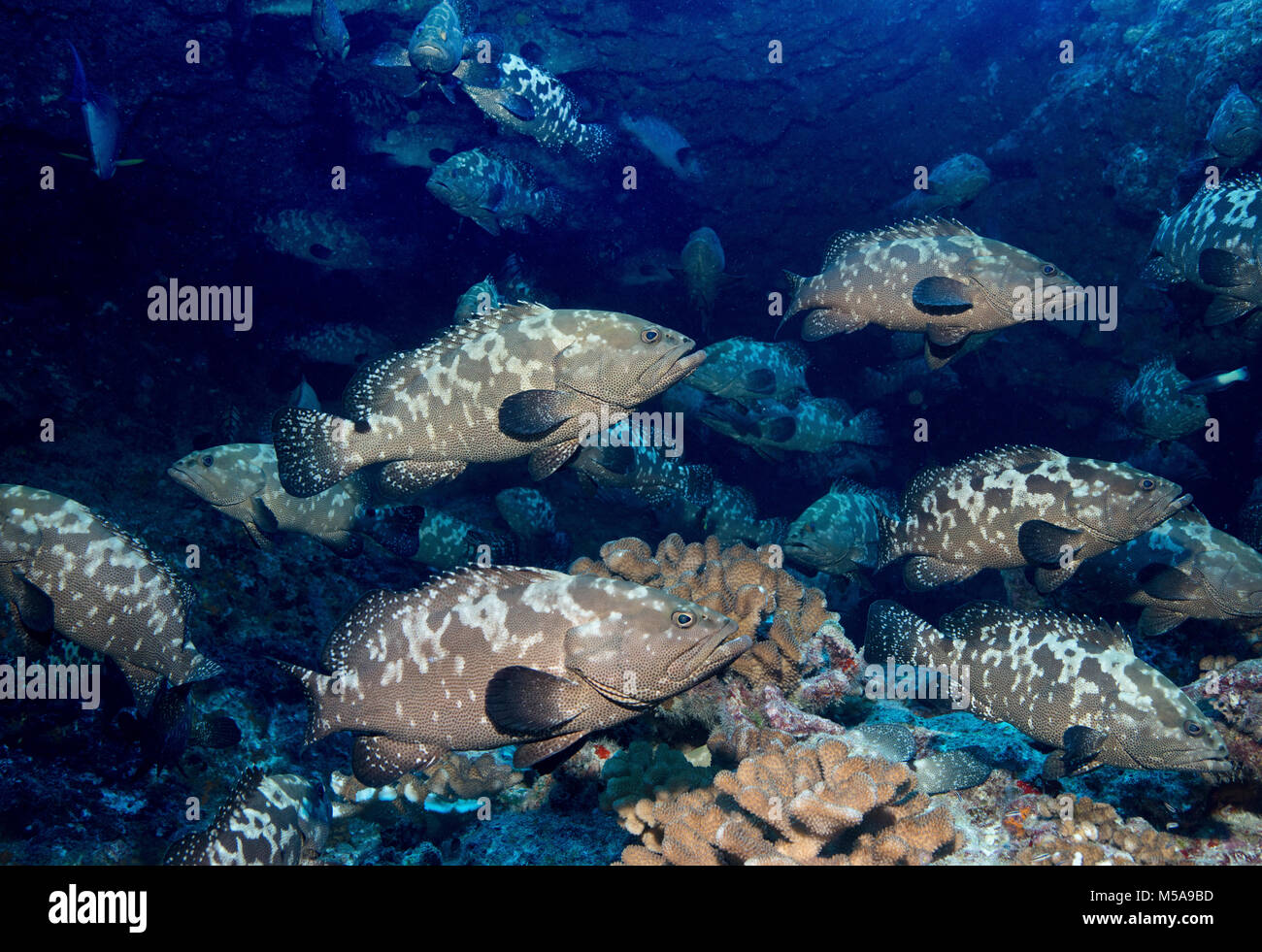 A large school of grouper fish spawning in a pass between islands, French Polynesia. - Stock Image