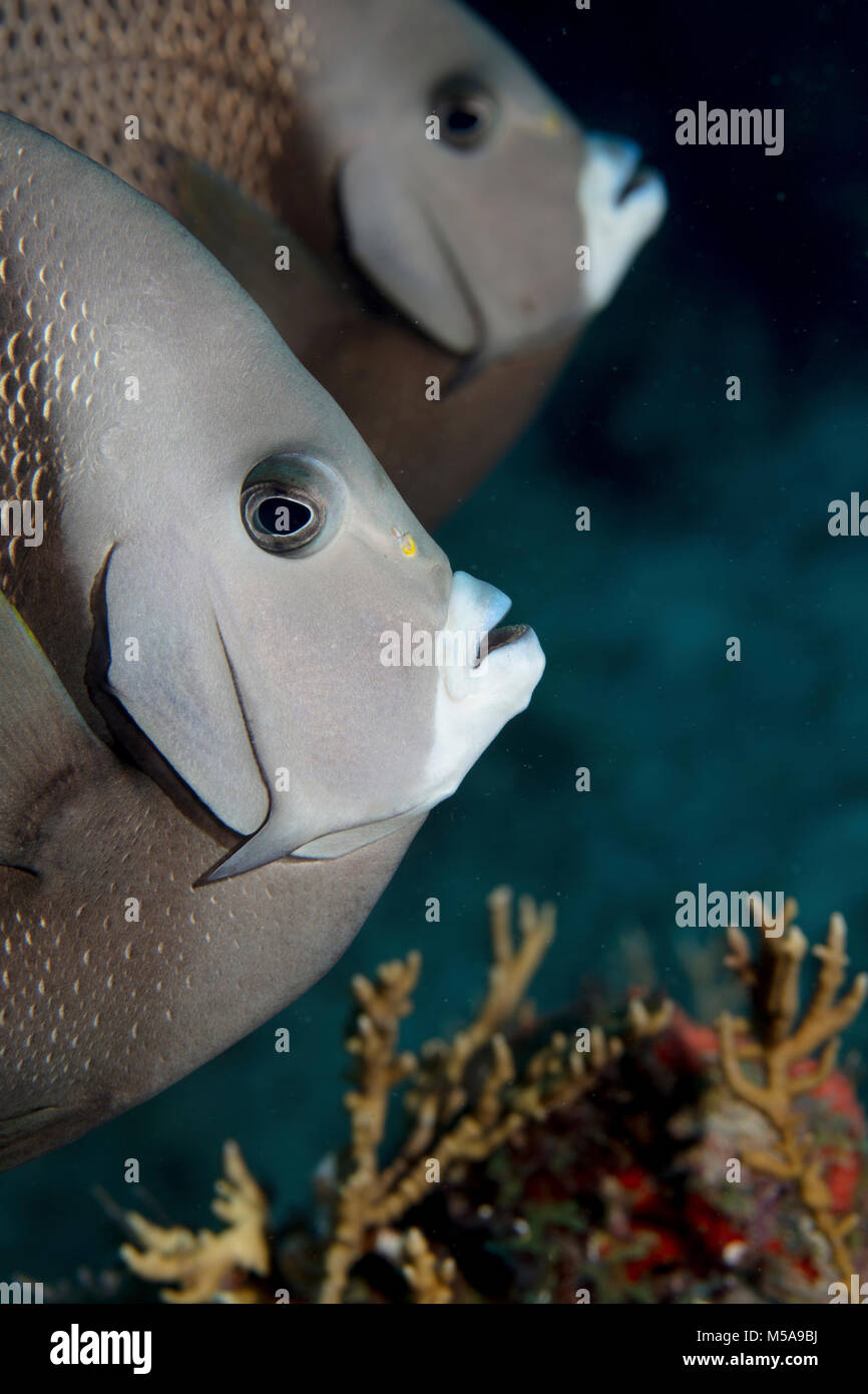 Pair of Gary angelfish (Pomacanthus arcuatus), on a reef in the Florida Keys National Marine Sanctuary. - Stock Image