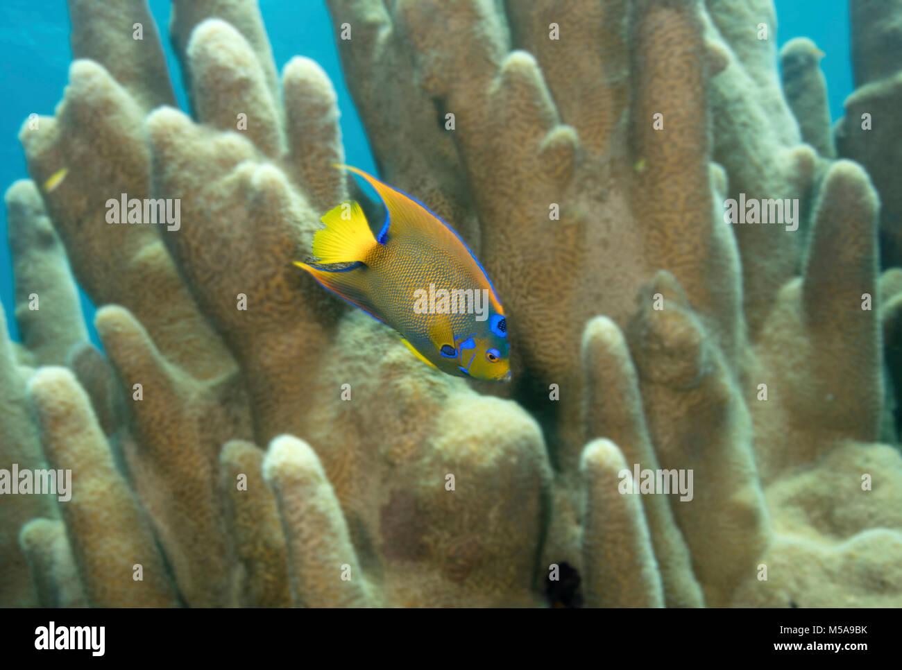 Queen angelfish swimming through Pillar coral. - Stock Image
