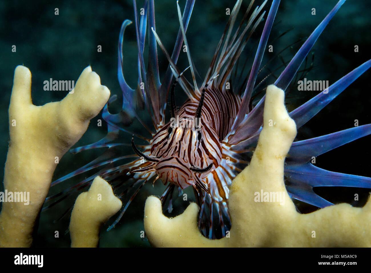 The invasive species, Lionfish (Pterois volitans) amid fire coral plants. - Stock Image