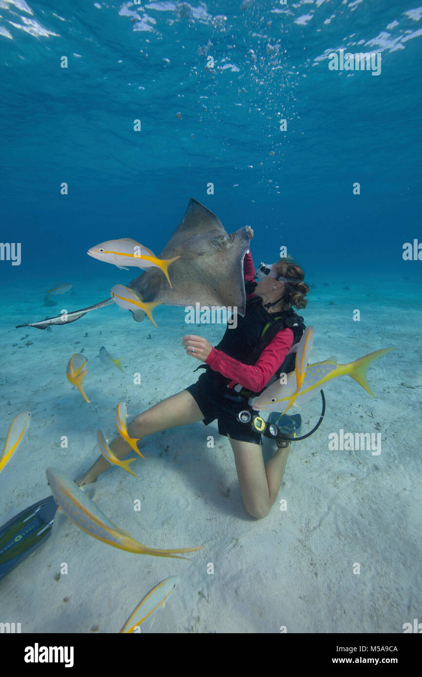 Scuba diver handfeeding a Southern stingray underwater at the Sandbar, Grand Cayman. - Stock Image
