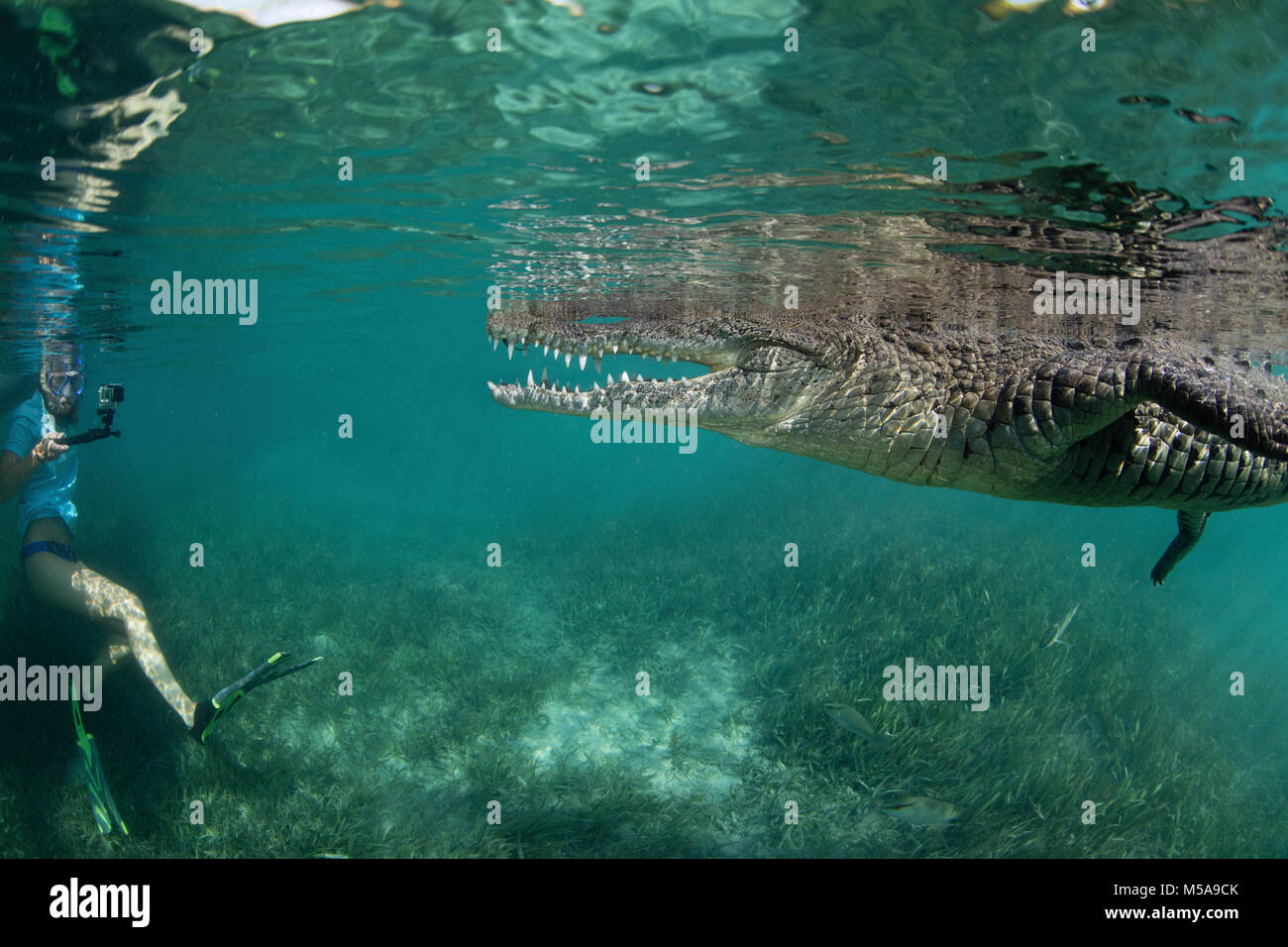 A snorkeller, diver in the water with a socially interactive crocodile at the Garden of the Queens, Cuba. - Stock Image