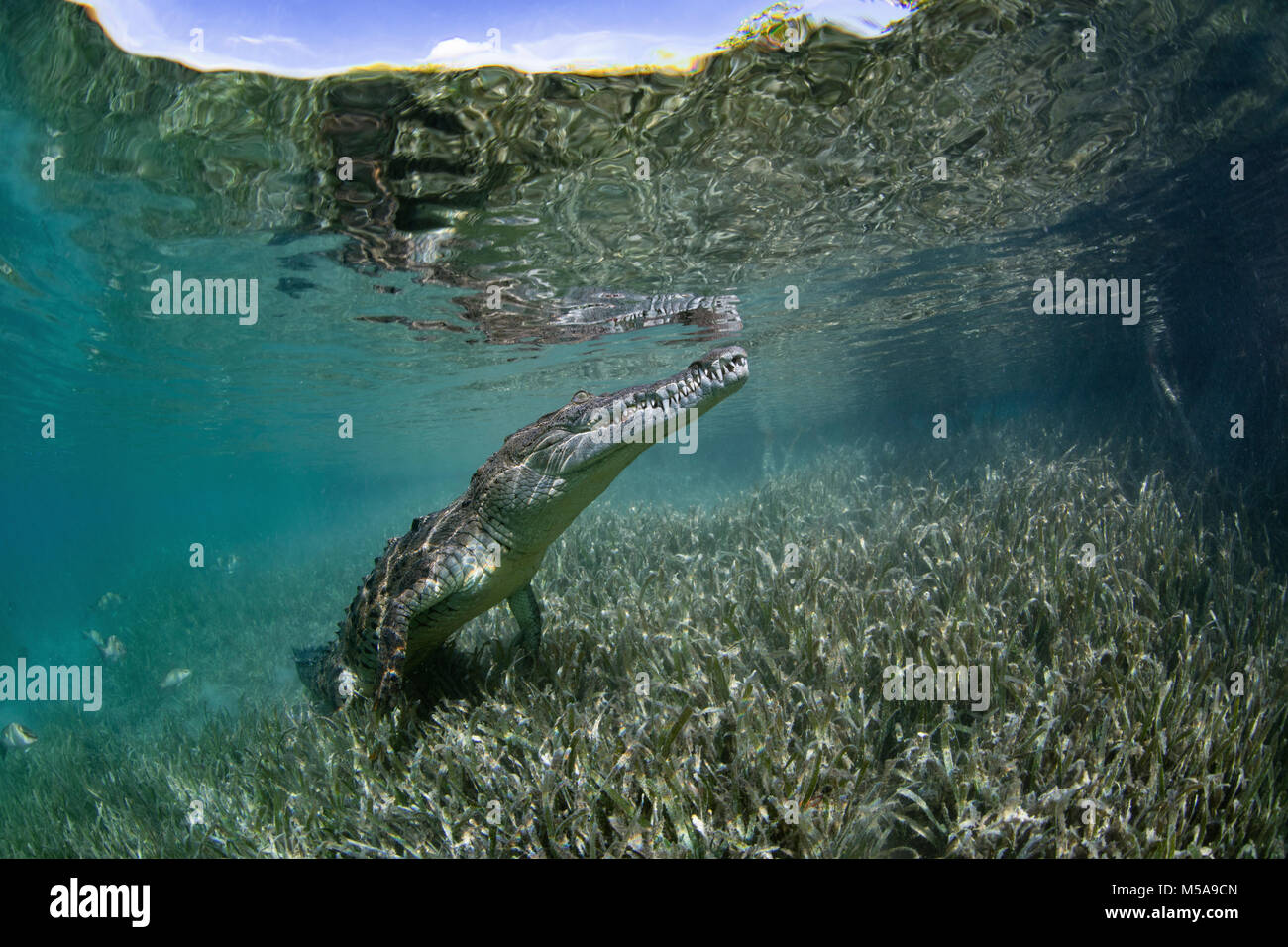 A captive crocodile underwater, snout in the surface of the water at the Garden of the Queens marine park, Cuba. - Stock Image