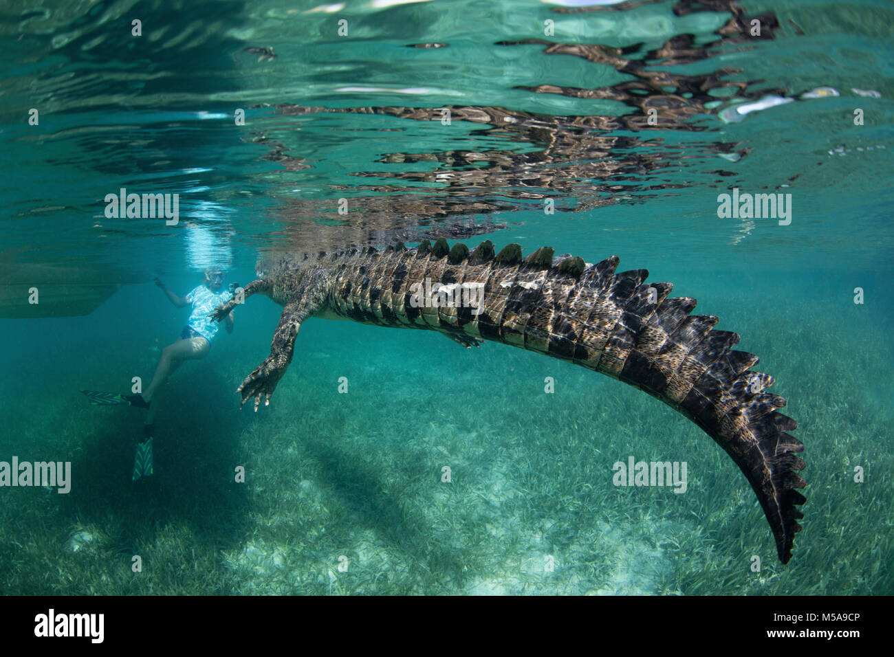 A crocodile in a nature reserve, swimming with a snorkeler the Garden of the Queens, Cuba.  Underwater view. - Stock Image