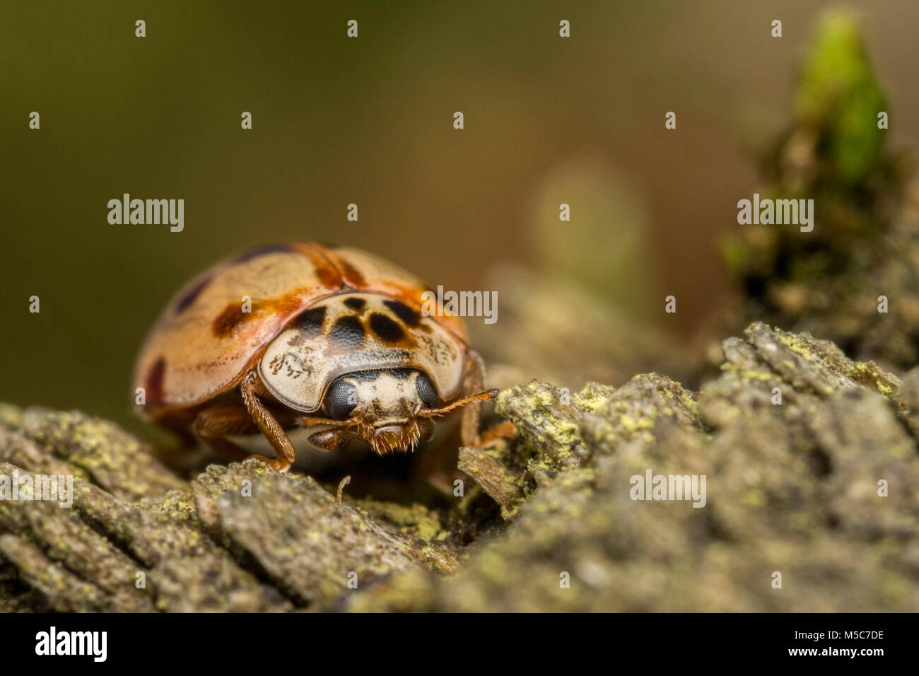 10-spot Ladybird (Adalia decempunctata) resting on fencepost. Tipperary, Ireland Stock Photo