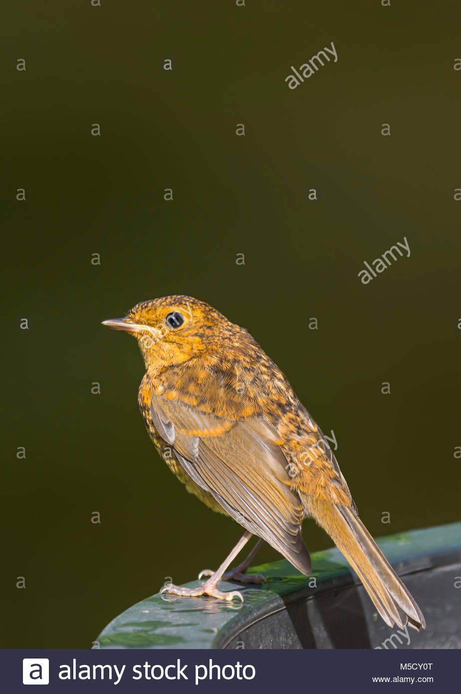fledgling-robin-redbreast-erithacus-rubecula-perched-in-summer-in-M5CY0T.jpg