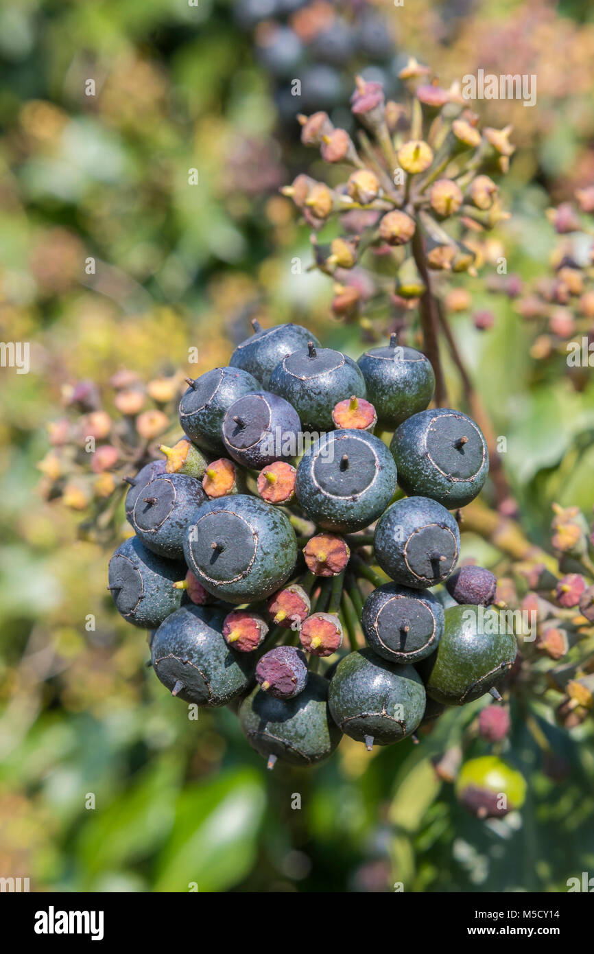 cluster-of-black-berries-of-fruit-on-an-ivy-hedera-helix-plant-in-M5CY14.jpg