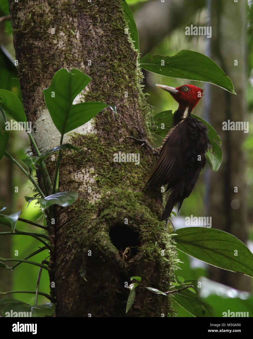 pale-billed woodpecker Costa Rica Corcovado National Park Osa Peninsula - Stock Image