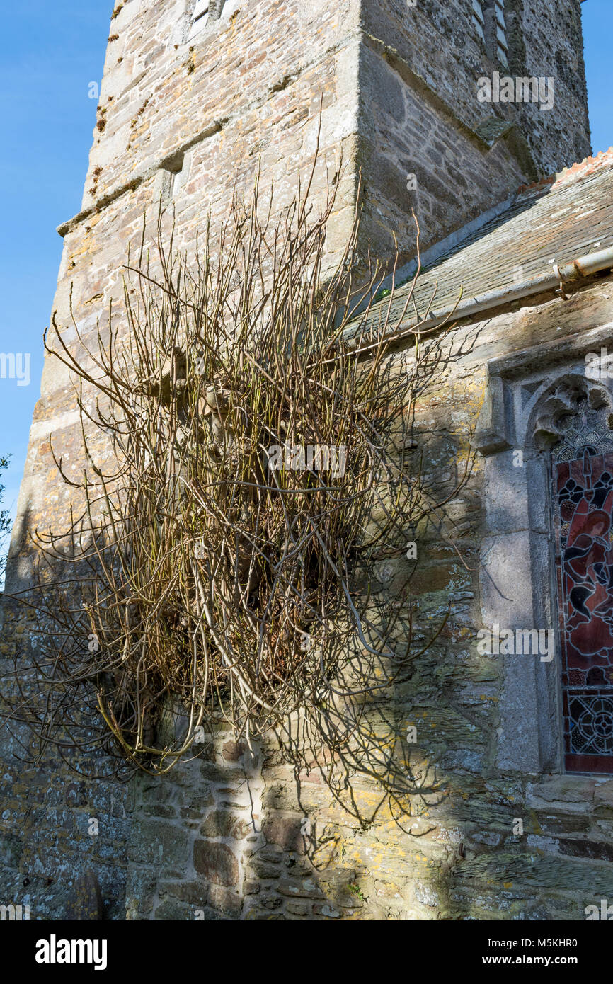 250 year old fig tree growing and flourishing in the wall of the village church in manaccan, cornwall, england, - Stock Image