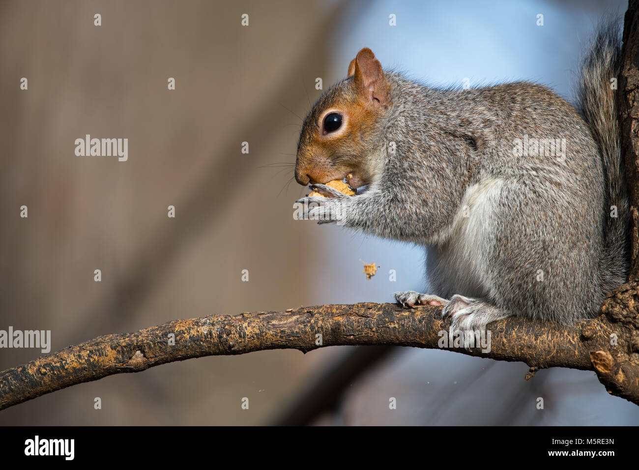Eastern Grey Squirrel Eating Peanut - Stock Image