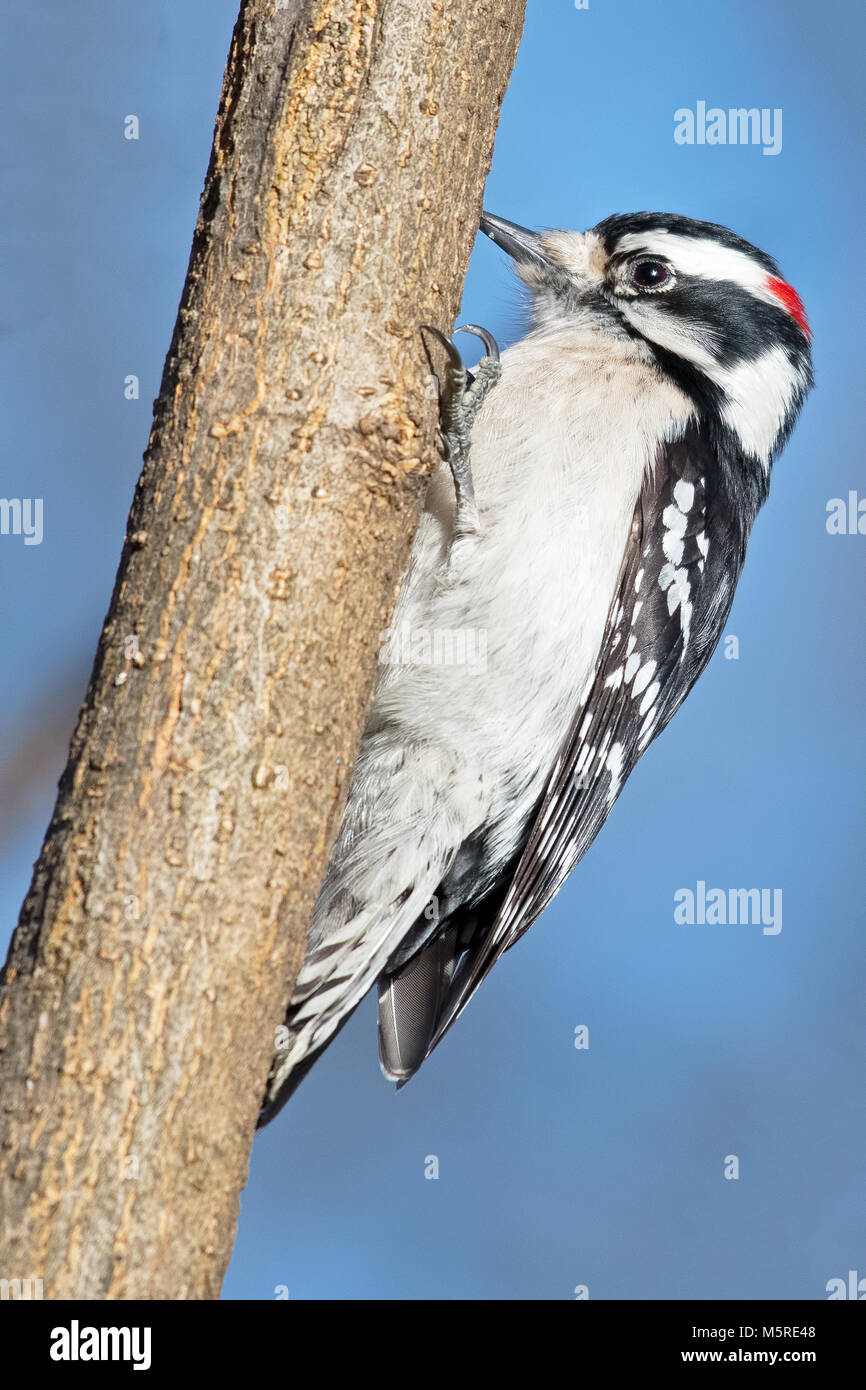 Male Downy Woodpecker - Stock Image