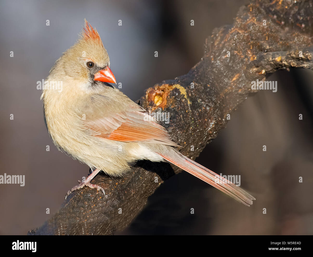 Female Northern Cardinal - Stock Image