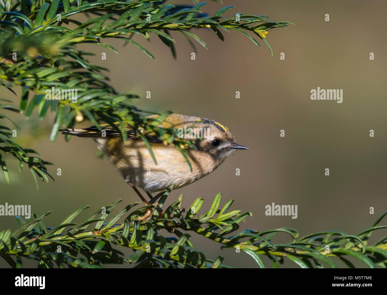 adult-goldcrest-bird-regulus-regulus-perched-in-a-twig-on-a-cold-day-M5T7ME.jpg