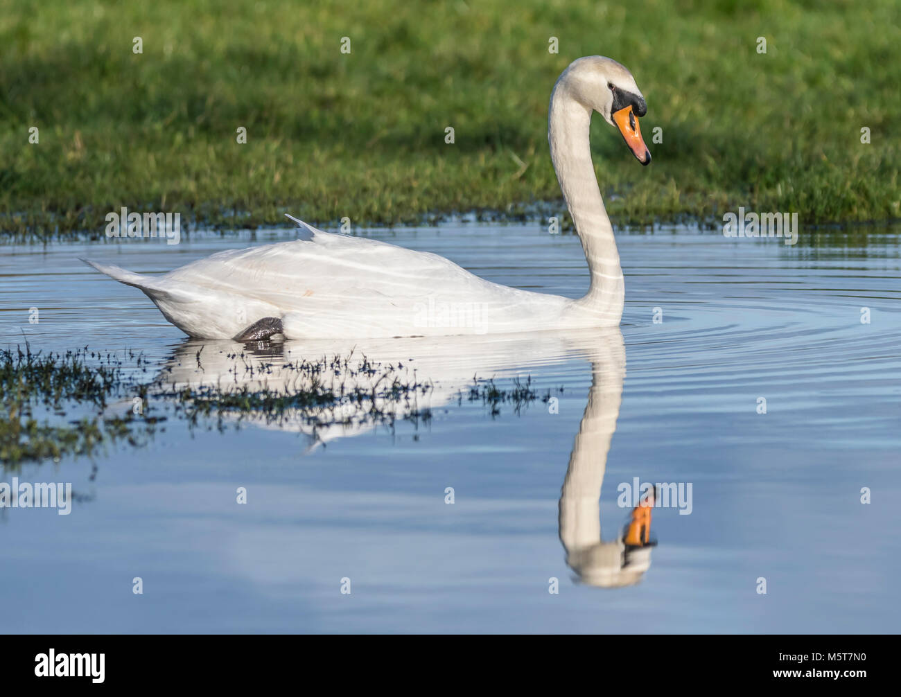 white-mute-swan-cygnus-olor-with-perfect-reflection-side-view-swimming-M5T7N0.jpg