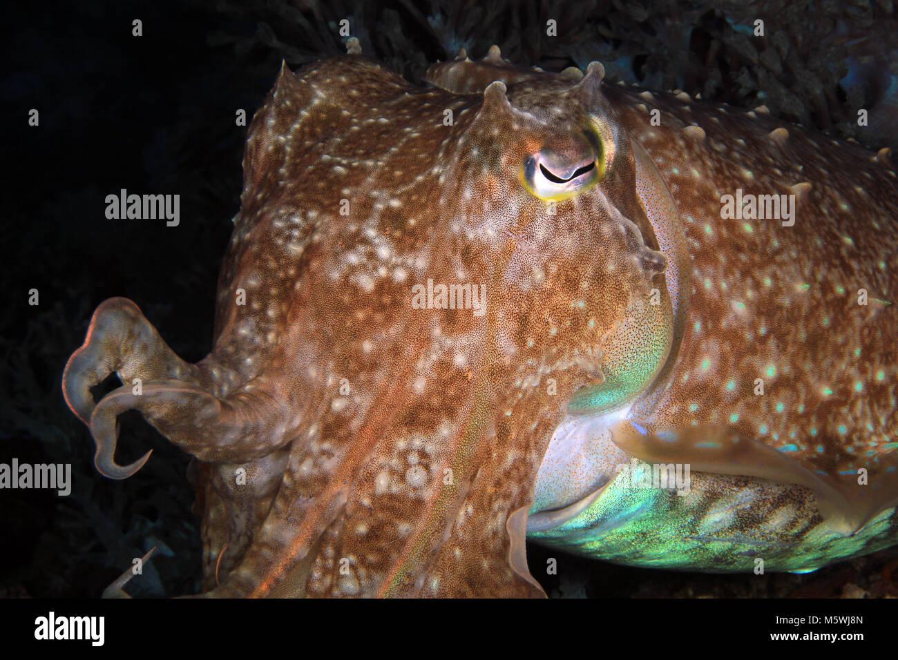 Close-up of a Broadclub Cuttlefish (Sepia latimanus). Anilao, Philippines - Stock Image